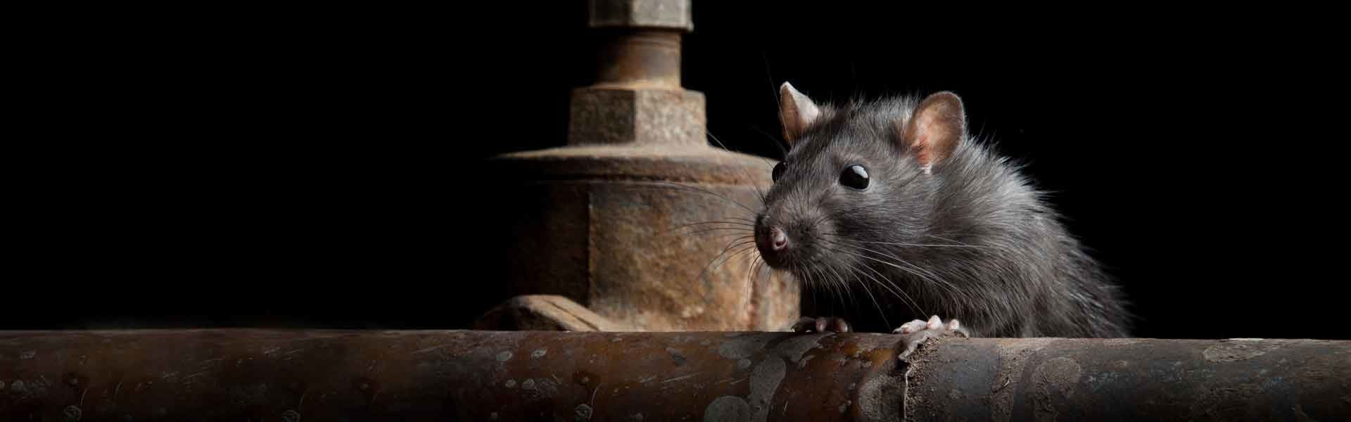 rodent and rat control