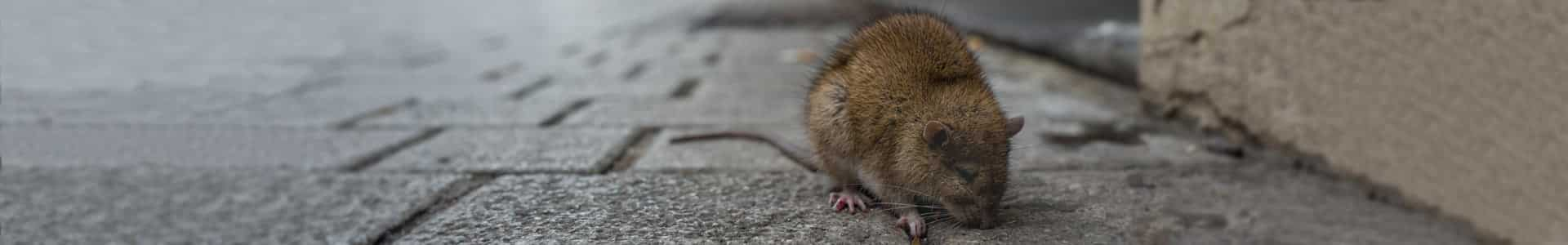 Seattle Rodent Control Services at Cascade Pest Control