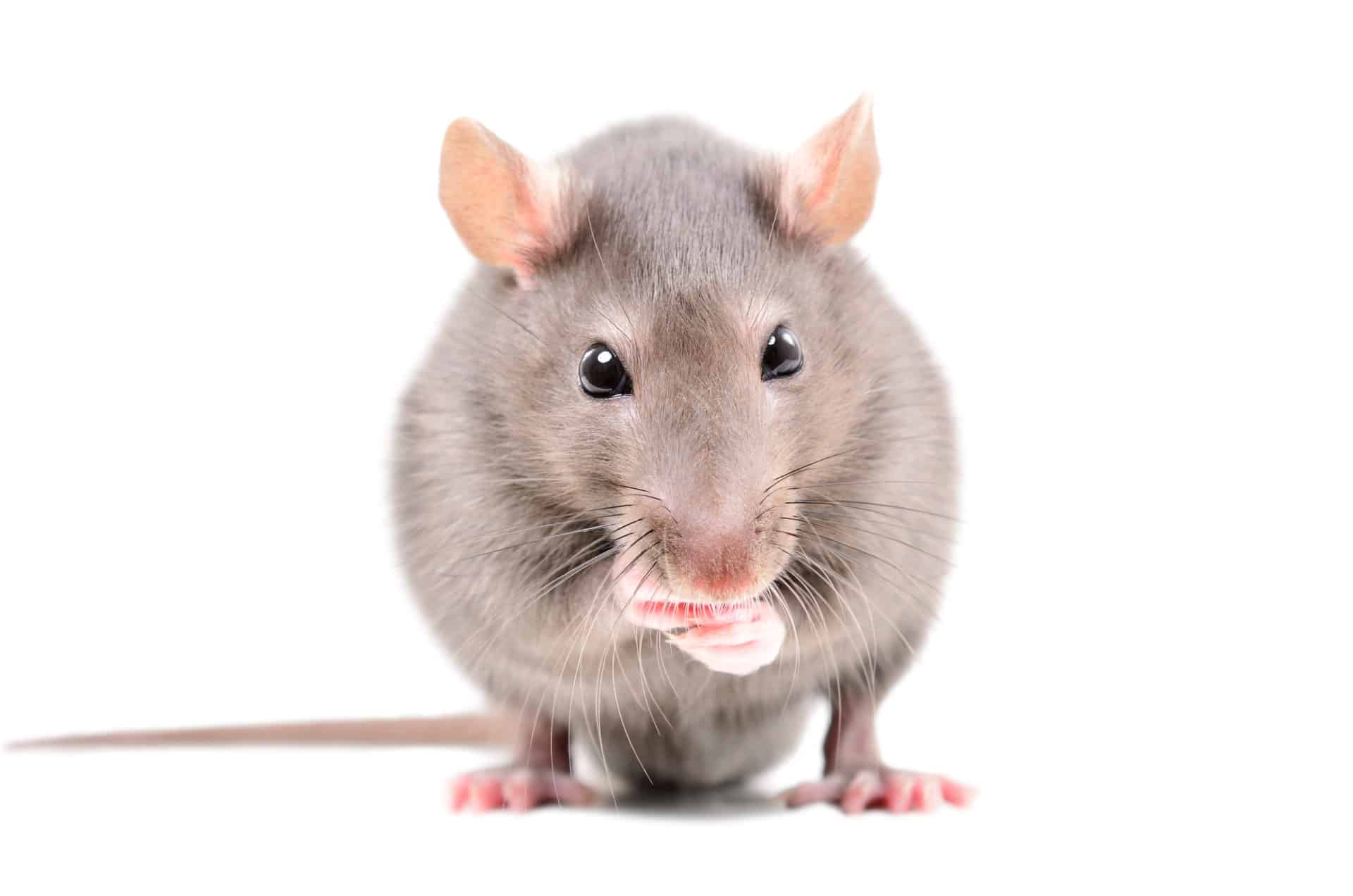 Non-Lethal, Humane Rodent Control Services