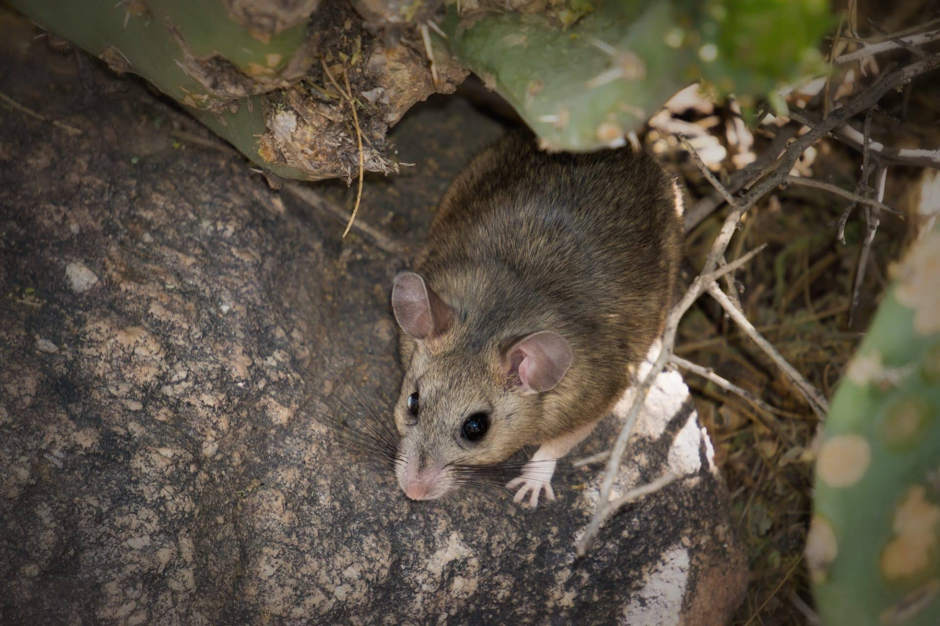What's a Pack Rat? Is It a Real Rat?